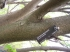 kôra morušovníka